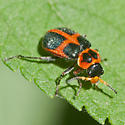 red and black beetle - Collops balteatus