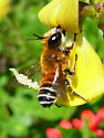 Interesting bee - Megachile lanata - male