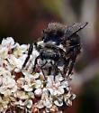 Bee, blk&wh - Bombus