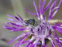 Weevil - Larinus