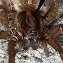 Spider - Trochosa