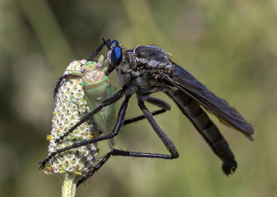 Robber Fly sp. 3 - Microstylum morosum - male