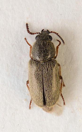 Soft-winged flower beetle? - Trichochrous