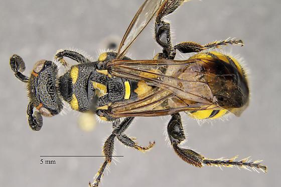 Myzinum maculatum - Myzinum maculatum - female