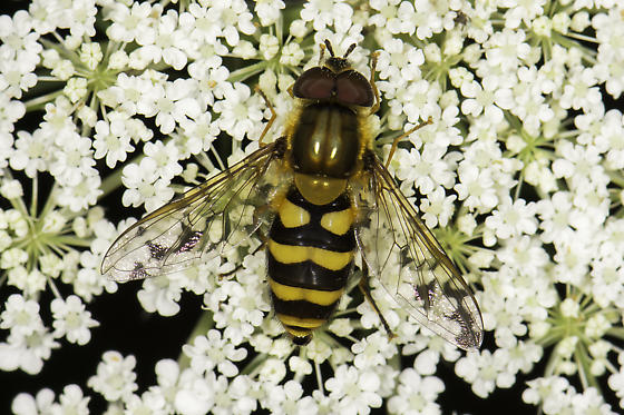 Syrphidae - maybe Syrphus torvus? - male