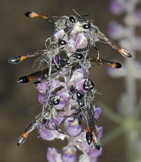 Wasp aggregation - Ammophila