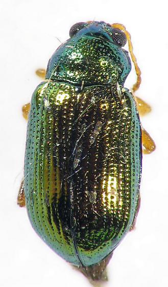 metalic flea beetle? - Crepidodera browni