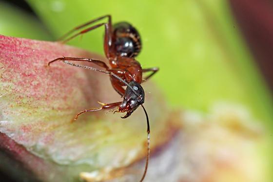 Formicidae - Camponotus vicinus - female