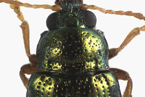 Leaf Beetle - Crepidodera nana