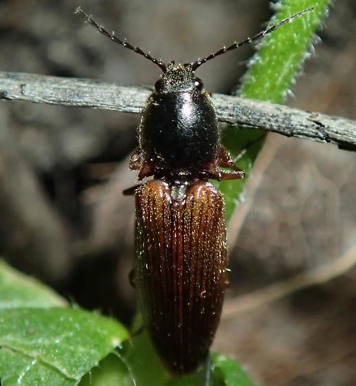 Beetle - Hemicrepidius hemipodus