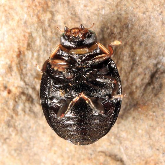 ladybeetle - Hyperaspis binotata - male