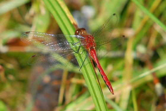 Meadowhawk...Sympetrum sp. - rubicundulum or internum? - Sympetrum - male