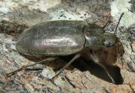 Tenebrionidae - unidentified - Bothrotes