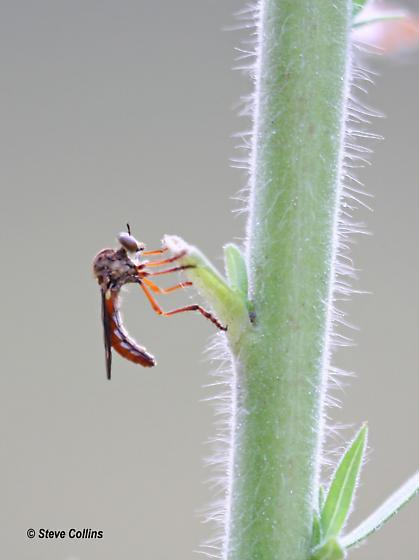Small robber - Cophura bella