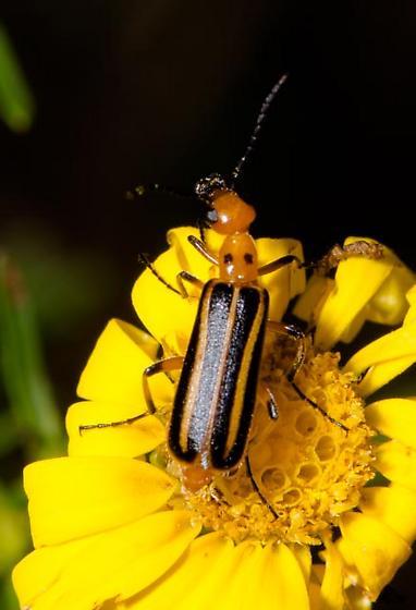 red and black beetle - Pyrota lineata