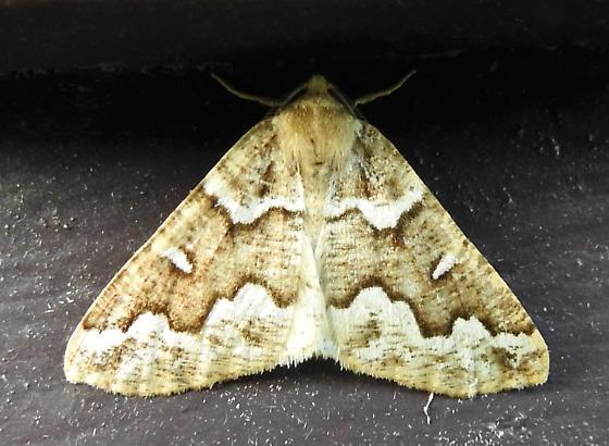 6863 – Caripeta divisata – Gray Spruce Looper - Caripeta divisata - male
