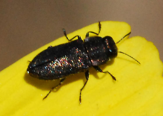 Small, dark beetle on encilia - Anthaxia