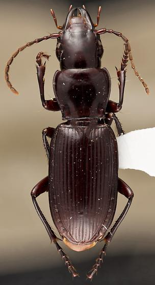Pterostichus hypogeus - male