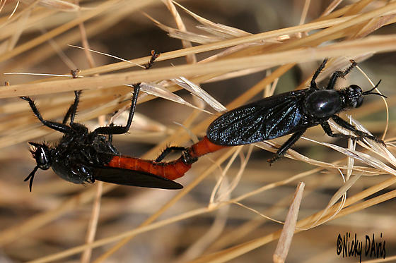 Mating Wasps - black with red abdomens at Promontory - Ospriocerus aeacus - male - female