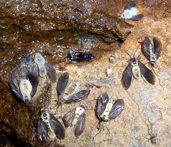 Flies? (found on the underside of a rock in a coldwater stream)