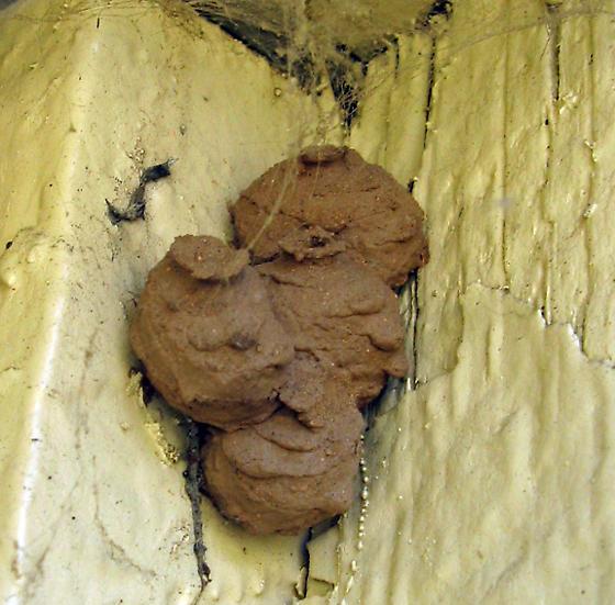 Mud Dauber Nest? - Eumenes