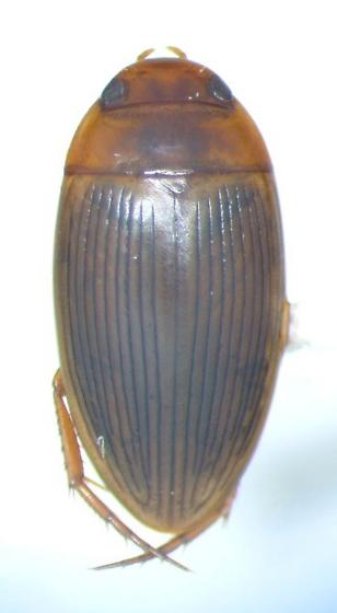 Copelatus glyphicus