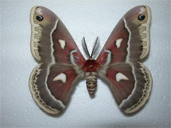 Hyalophora gloveri - Hyalophora columbia - male