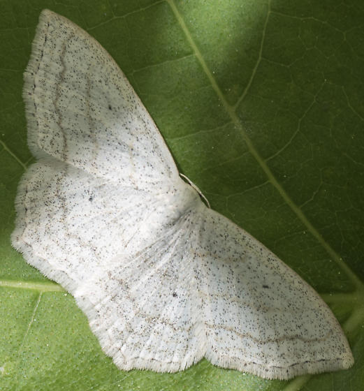 Geometer moth? - Scopula