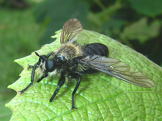 Big Bee Mimic Fly 004 - Laphria