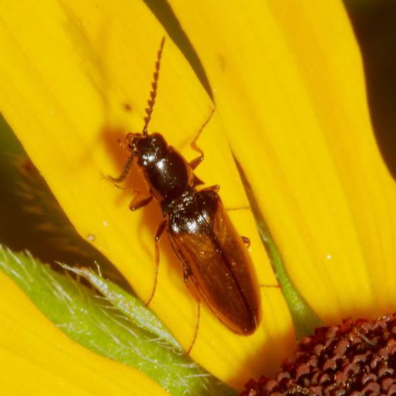 Click Beetle? - Oestodes tenuicollis