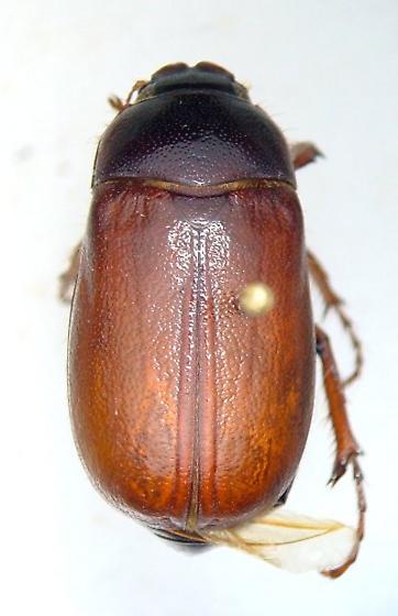 Phyllophaga implicata - Phyllophaga implicita - female