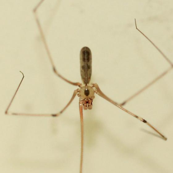Longbodied Cellar Spider - Dorsal - Pholcus phalangioides