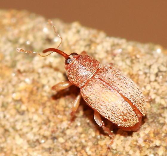 Snout Beetle - Lignyodes helvolus