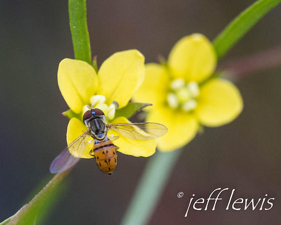 Unknown fly on Ludwigia flower - Toxomerus boscii