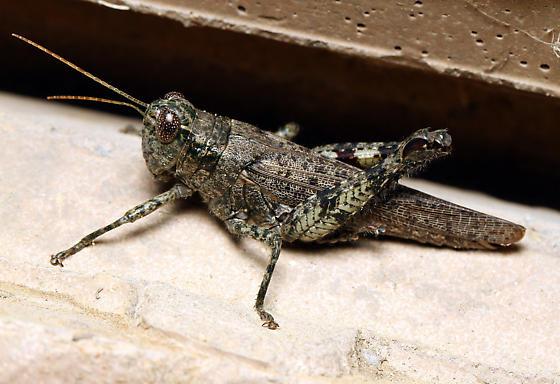 Melonoplus? - Melanoplus punctulatus - female