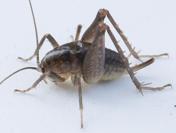 Cricket - Ceuthophilus - female