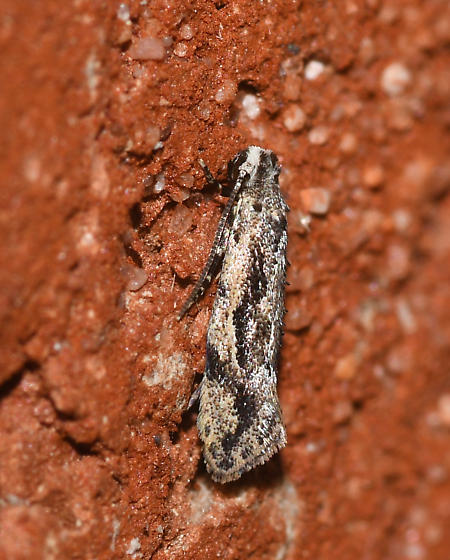 Unidentified moth (Tineidae?)