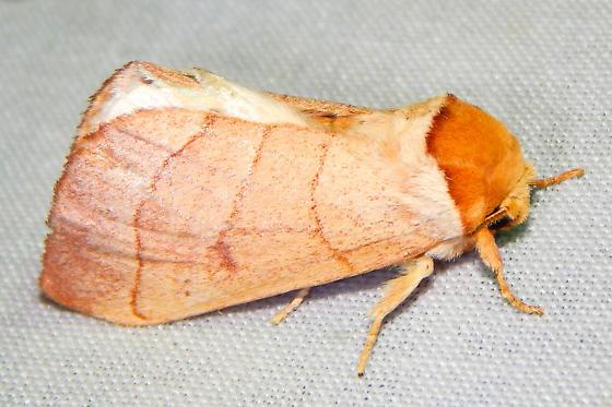 Mid-size moth - Datana perfusa