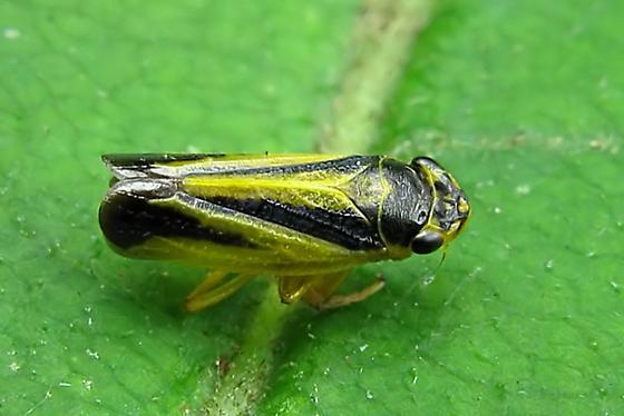 Leafhopper - Evacanthus interruptus