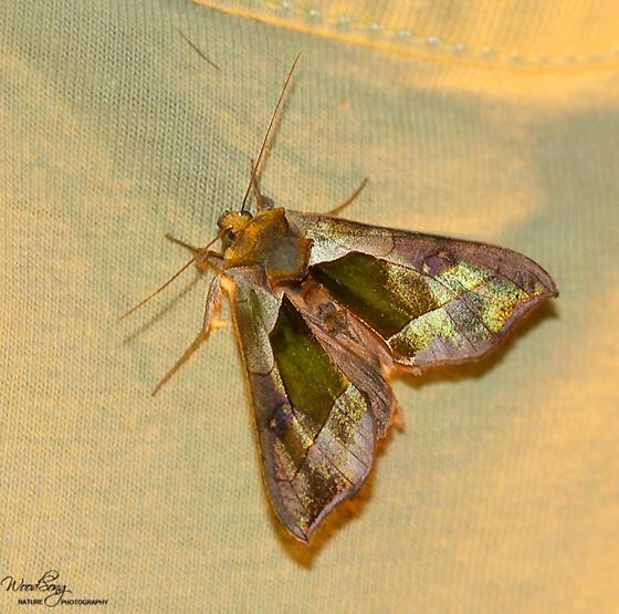 Hologram Moth (Aka Green-patched Looper Moth) Diachrysia balluca Hodges#8897 - Diachrysia balluca