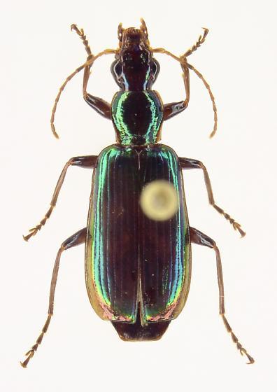 Calleida viridipennis