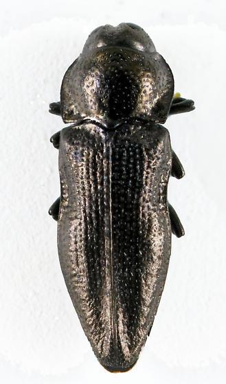 Metallic Wood-boring Beetle - Aphanisticus cochinchinae