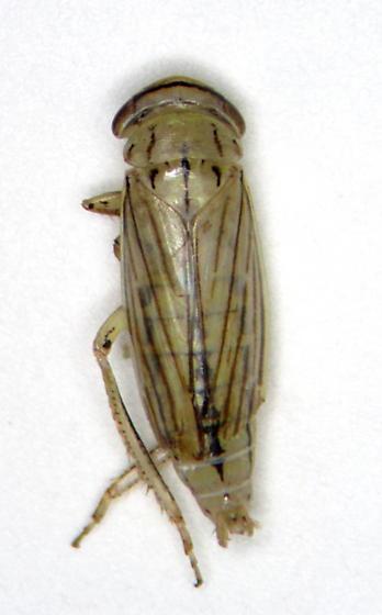 Hopper 4 - Athysanus argentarius - male