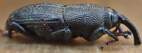 Sphenophorus parvulus (?) - Sphenophorus parvulus