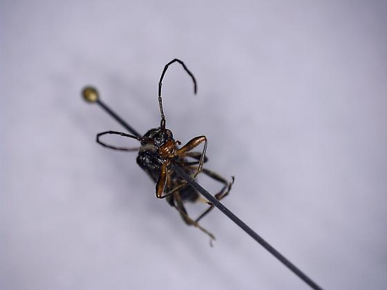 polyphaga 1 - Anoplodera pubera