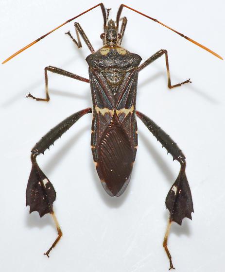 Imago - Leptoglossus zonatus