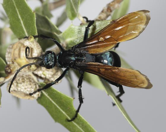 The lek tree - Pepsis - female
