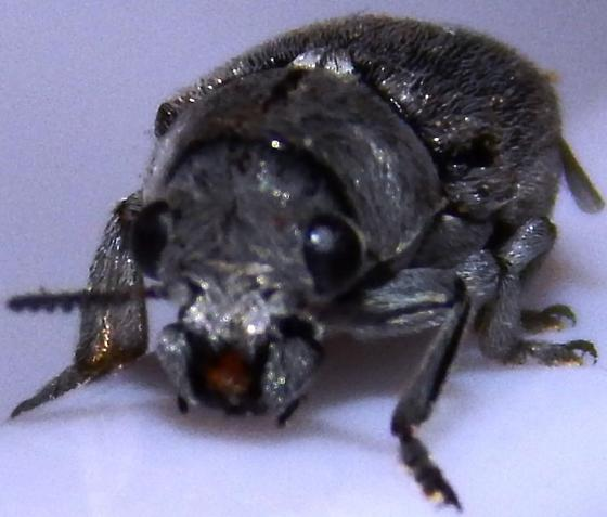 Unknown Beetle - Coleothorpa dominicana