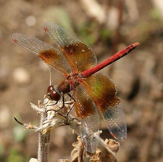A red skimmer? - Sympetrum semicinctum