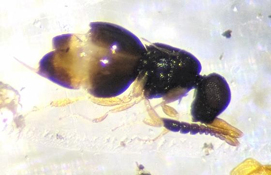 Hymenoptera - Ceraphron